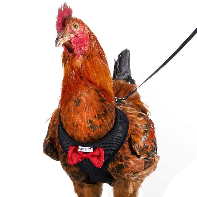 yesito chicken harness, leash, and bow ties
