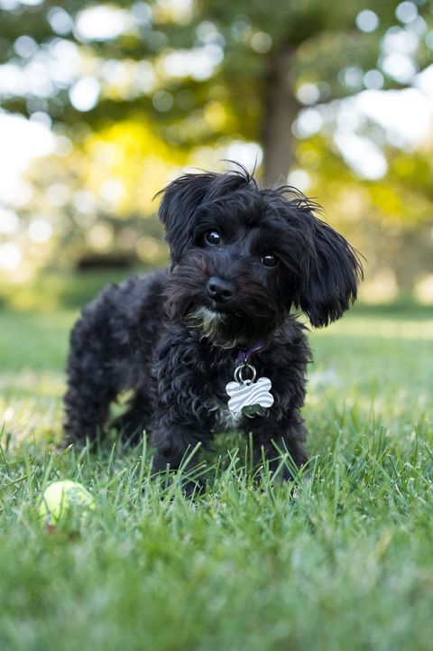 Yorkipoo Dog Standing Outdoors with Tennis Ball