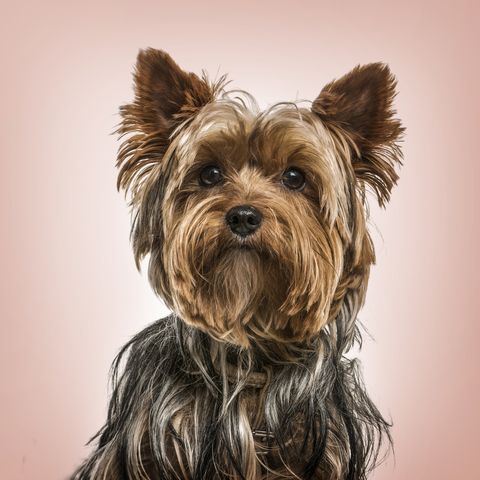 Top Dog Breeds -- Yorkshire terrier