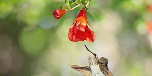 Young Allen's Hummingbird at Pom Blossom