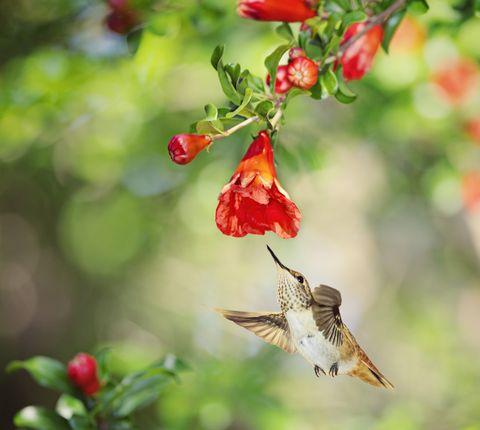 Young Allen's Hummingbird at Pom Blossom