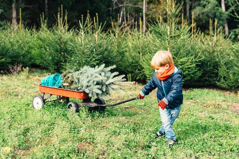 Young Boy Bringing Home A Christmas Tree