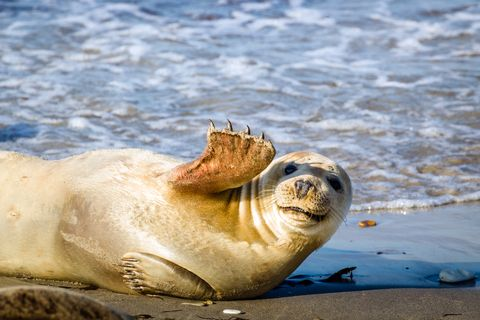 Young seal smiles and waves