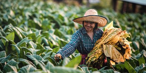Young woman working harvesting tobacco leaf in Nong Khai Thailand