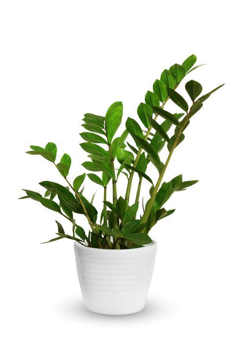 living room plants zz plant