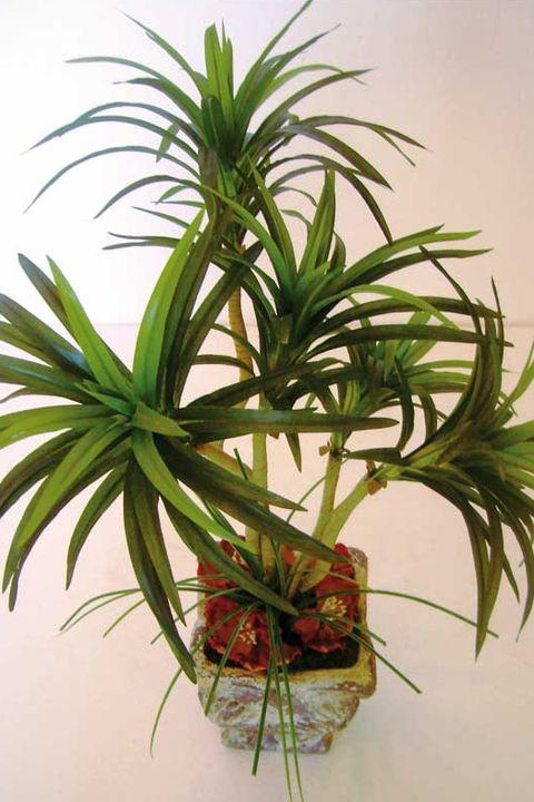 planta de yuca