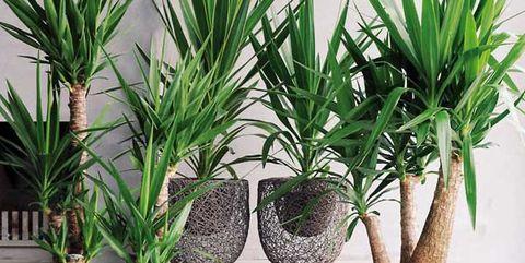 yuca plantas de interior