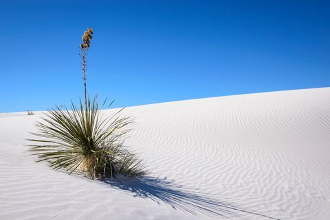 white sands national monument yucca