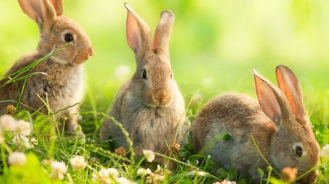 konijnen-flevopolder-uitgezet