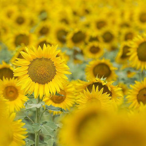 zilke farm sunflower festival