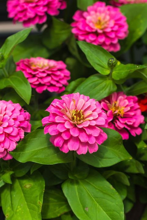 Zinnia - significados de la flor