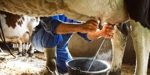 melk-bevat-pus-koeienuiers
