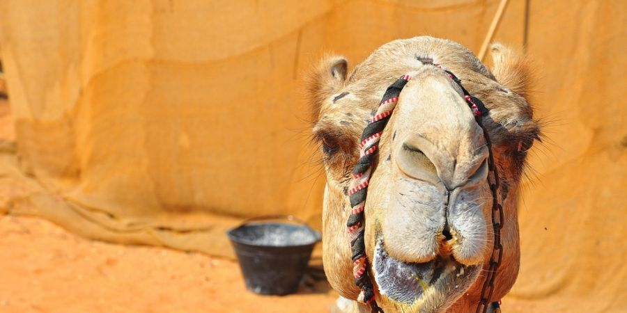 Camel tow leggings HOTTEST Girls