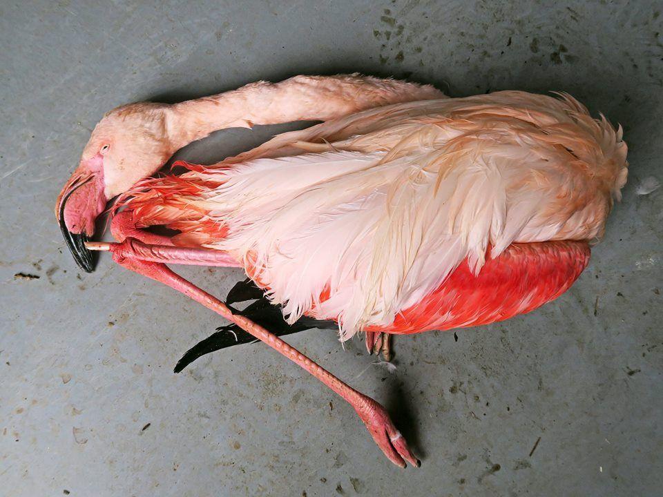 zoo flamingo 1489665452 flamingo killed in czech zoo three boys kicked and stoned flamingo