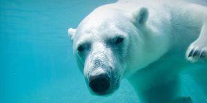 ijsberen-uitzetten-zuidpool