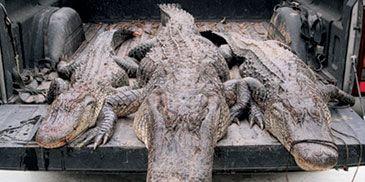 Crocodile, Crocodilia, Nature, Alligator, Organism, Reptile, American alligator, Photograph, American crocodile, Nile crocodile,