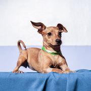 Dog, Mammal, Vertebrate, Dog breed, Canidae, Carnivore, Companion dog, Snout, Puppy, Chihuahua,