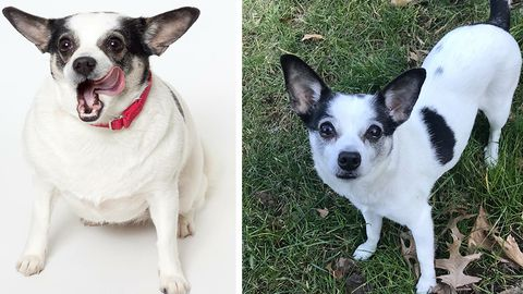 95906dac3dce4 Lucy the Chihuahua Mix Weight Loss by Treadmill Runs - Dog Weight Loss