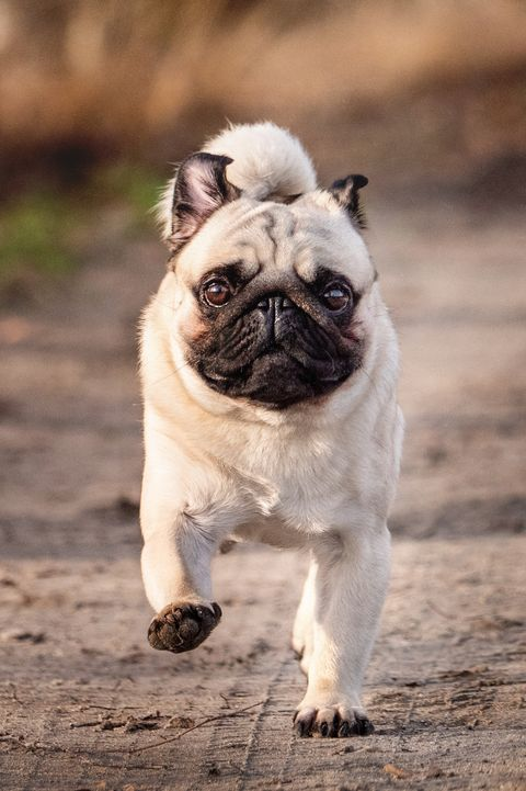 best small dog breeds pug