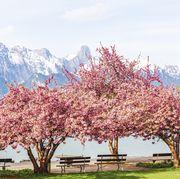 Blooming pink Japanese cherry or sakura flowers (Prunus serrulata or Kanzan) with bench near lake and  mountain