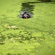 Blue-Green Algae Toxic Cyanobacteria Killing Dogs