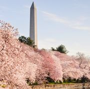 where to see cherry blossoms 2018