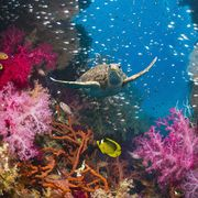 coral reef and green turtle