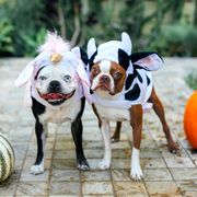 dogs in unicorn and cow halloween costumes