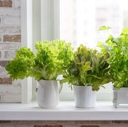 fresh aromatic culinary herbs in white pots on windowsill lettuce, leaf celery and small leaved basil kitchen garden of herbs