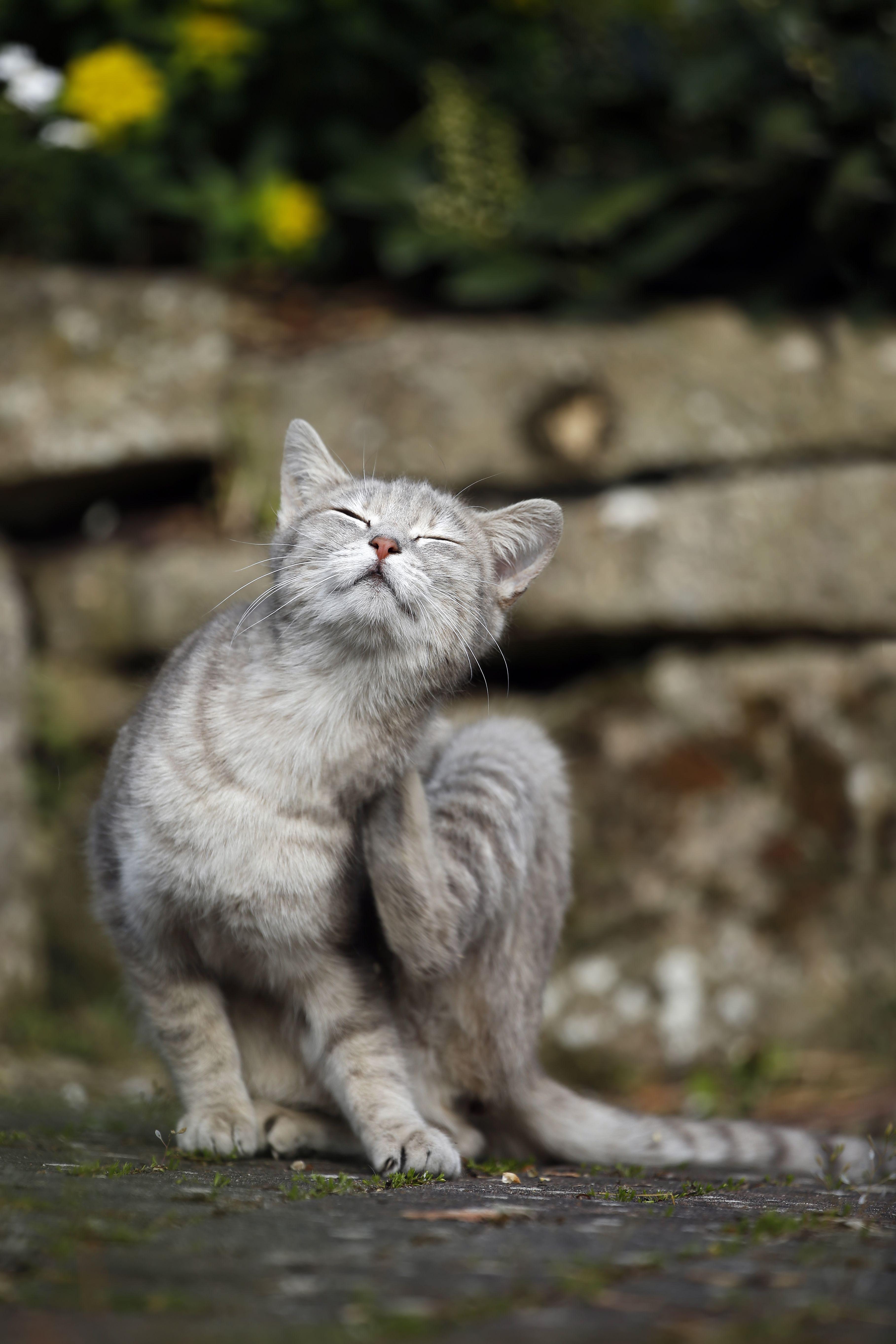 Germany, Baden-Wuerttemberg, Grey tabby cat, Felis silvestris catus, scratching