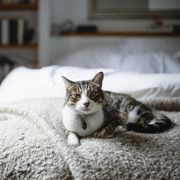 Tabby cat on a bed