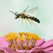 Bee, Honeybee, Insect, Megachilidae, Membrane-winged insect, Invertebrate, Hornet, Pollinator, Pollen, Pest,