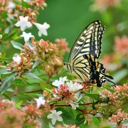 the butterfly in the photo is papilio xuthus, or commonly called asian swallowtail, which can be found in east asia and other parts of asia the flower is abelia × grandiflora, which is a cross between a chinensis and a uniflora it is a rounded, spreading, multi stemmed shrub in the honeysuckle family the plant features clusters of white to pink, bell shaped flowers which appear in the upper leaf axils and stem ends over a long period from late spring to autumn flowers are fragrant