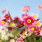 allens hummingbird enjoying pink marguerite daisies