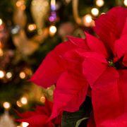 Red, Christmas, Pink, Lighting, Christmas decoration, Christmas eve, Flower, Plant, Petal, Christmas ornament,