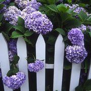 Flower, Flowering plant, Purple, Lilac, Plant, Lavender, lilac, Hydrangeaceae, Lilac, Hydrangea,