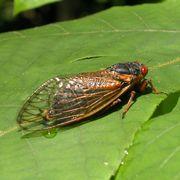 cicadas brood x in 2021