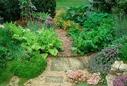 gravel paths wind their way between beds of golden feverfew chrysanthemum parthenium, lavender lavendula, ladys mantle alchemilla and tansy chrysanthemum vulgare in the herb garden at the national center for organic gardening, near coventry england, ca 1991