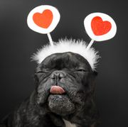 valentine's day memes, french bulldog