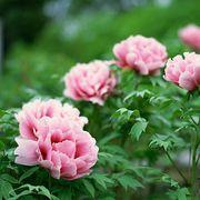 peonies in bloom closeup