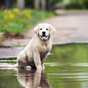 happy golden retriever puppy sitting in a puddle