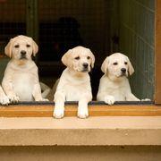 Labrador retriever, Canis familiaris