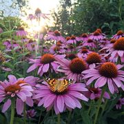 Painted Lady Butterfly resting or collecting pollen nectar from Pink Cone Flowers