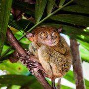 smallest animals on the planet, philippine tarsier carlito syrichta, bohol, philippines