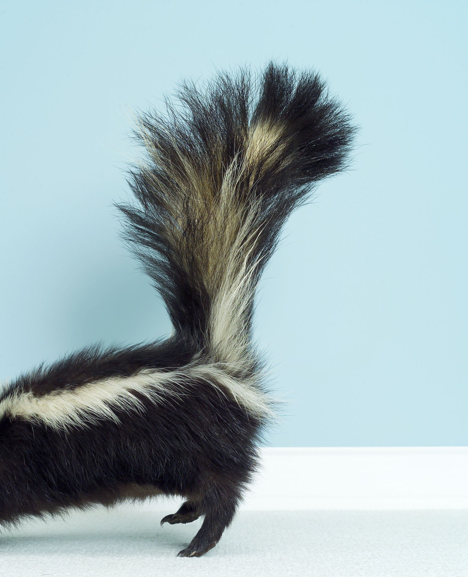 photo of back section of a skunk with lifted tail