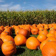 pumpkins on hay and cornfield