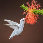 Rare Albino Hummingbird Sighting in Alabama, Cordova