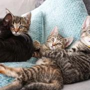 Cat, Mammal, Vertebrate, Small to medium-sized cats, Felidae, Tabby cat, Carnivore, European shorthair, Kitten, Whiskers,