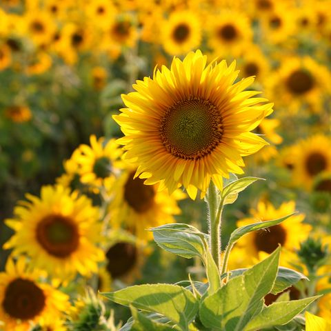 sunflower farm up close
