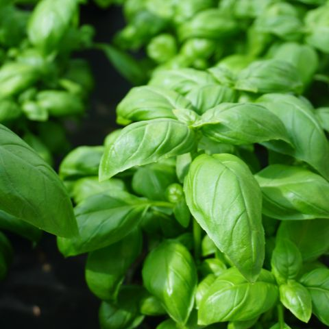 what to plant in august basil